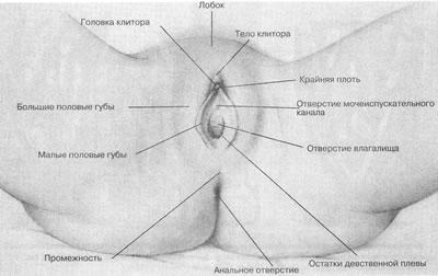 Консультация гинеколога Строение женской половой системы