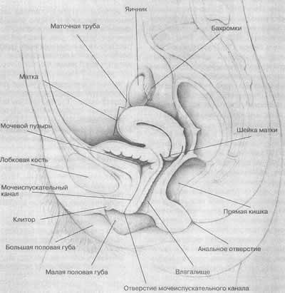 Мужские половые органы  med2000ru