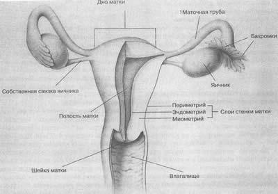 Нижняя часть матки - шейка (cervix) выступает во влагалище. Со