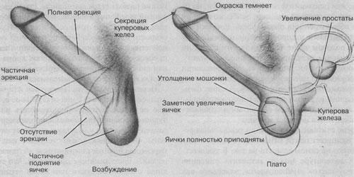 Основы сексологии УМастерс ВДжонсон РКоллодни 14